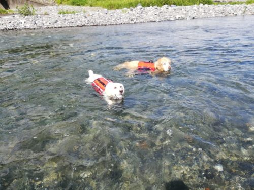 BONES-LABO & Qoo`s-LABO看板犬クルミの水泳トレーニング