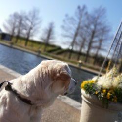 春の花を愛でながら公園で「吠え病」克服トレーニング(ヒトやワンコの往来をひたすら眺める)