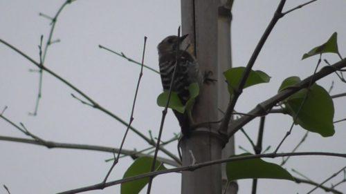 竹藪から聞こえる謎の声(?)の主は意外な野鳥でした