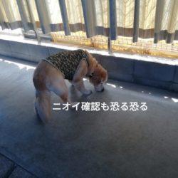 シニア犬くうちゃん『犬恐怖症』克服を目指します
